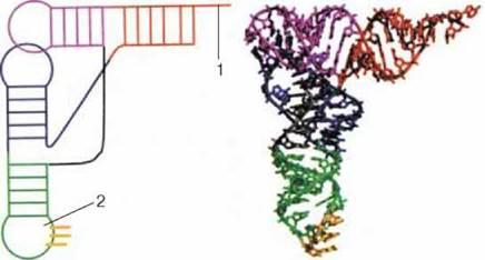 НУКЛЕЇНОВІ КИСЛОТИ. ВЛАСТИВОСТІ ТА ФУНКЦІЇ РНК. АТФ - ОРГАНІЧНІ РЕЧОВИНИ - МОЛЕКУЛЯРНИЙ РІВЕНЬ ОРГАНІЗАЦІЇ ЖИТТЯ - Біологія 10 клас - підручник - П.Г. Балан
