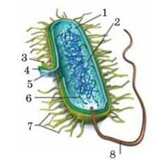 ПОРІВНЯЛЬНИЙ АНАЛІЗ БУДОВИ КЛІТИН ПРОКАРІОТІВ І ЕУКАРІОТІВ - Структура клітинного рівня: біомолекули та органели клітин - Клітинний рівнь організації живої природи - Біологія 10 клас - С.В. Межжерін