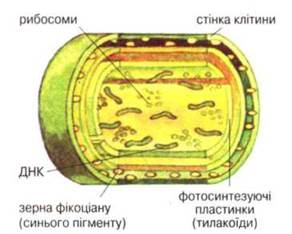 Ціанобактерії (синьо-зелені водорості) - БАКТЕРІЇ - БАКТЕРІЇ - Біологія 7 клас - В.І. Соболь